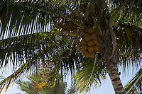 Coconuts cluster on a Key West palm tree on a brilliant January day.