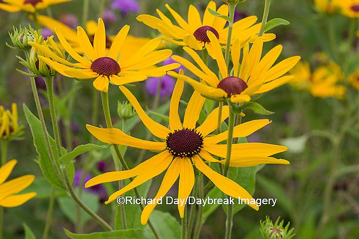 63899-05414 Sweet Black-eyed Susan (Rudbeckia subtomentosa) Marion Co., IL