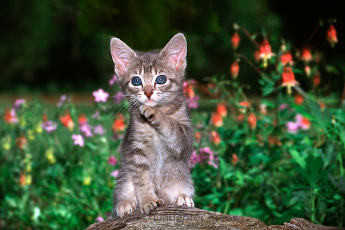 Cute blue-eyed gray tabby sitting on stump in blooming garden raises paw, Missouri, USA