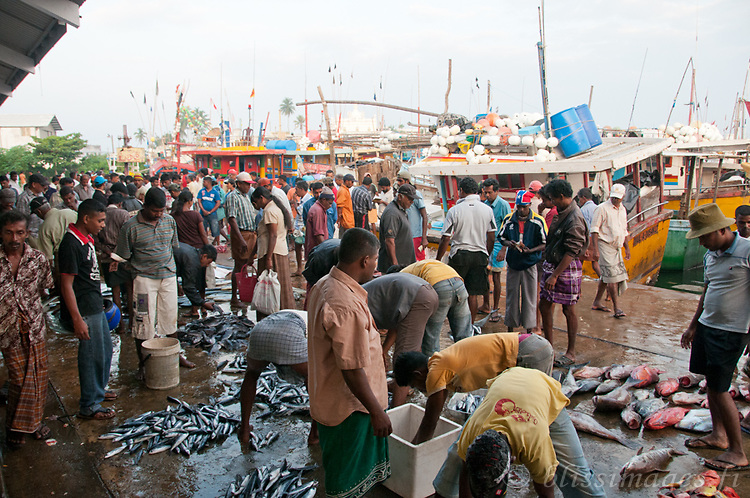 Fishing boats return with morning catch at Beruwala, Sri Lanka