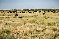 Cattle grazing in The Cimarron National Grassland in Western Kansas.