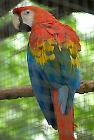 A scarlet macaw in Manaus, Brazil.