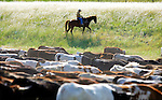 MICHAEL SMITH/WTE..A cowboy keeps an eye on cattle as they move through a field north of Cheyenne Sunday morning.  Over 700 head of Corriente long horned steers were part of the 2 mile long cattle drive along I-25 to support the Frontier Days Rodeo..