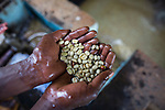 Hands holding washed coffee beans, Kenya