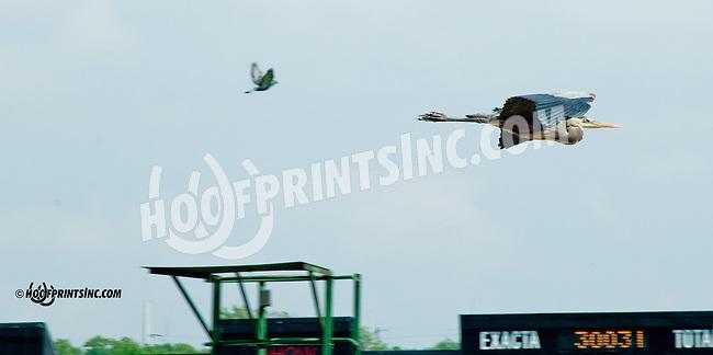 great blue heron flying over Delaware Park on 5/20/13