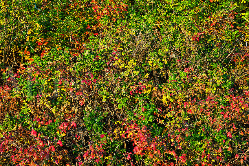 Colorful autumn groundcover and brush.
