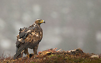 Golden eagle, Aquila chrysaetos, adult female on fox kill, Norway, Nr Trondheim.