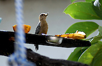 CALI - COLOMBIA: Aves en los jardines. / Birds in the garden Photo: VizzorImage / Luis Ramirez /Staff