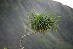 Orchid Island (蘭嶼), Taiwan -- Hala tree with Hala fruit.