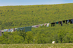 Amish clothes line with mountains and cow.