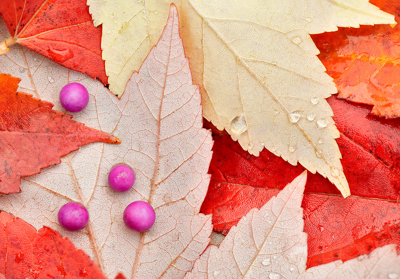 Beautyberry berries (Callicarpa) and fall colred maple leaves. Wilsonville. Oregon