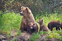 Female brown bear with spring cubs at the edge of a forest surveys the land for other bears, Katmai National Park, Alaska