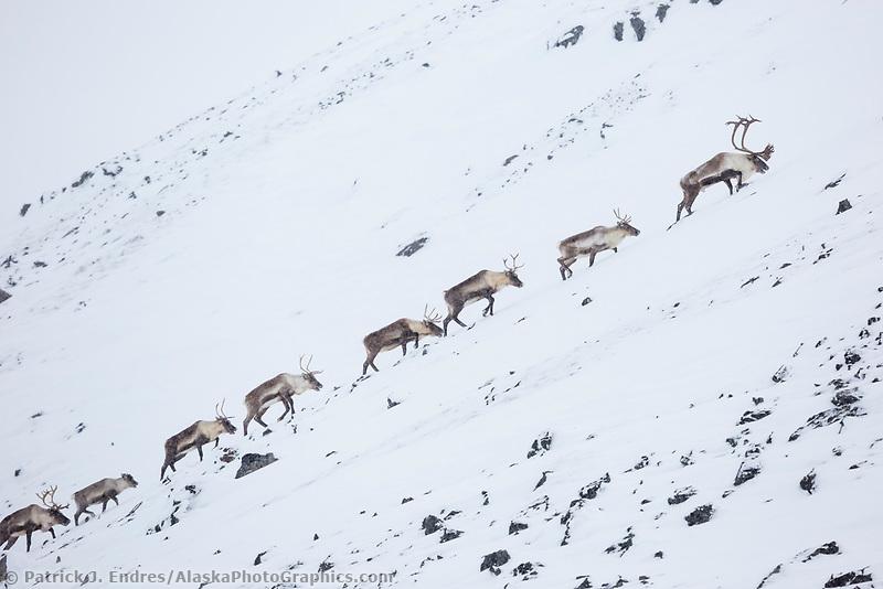 Caribou travel through the snowy tundra in Atigun canyon, Brooks Range, Arctic, Alaska.