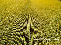 63801-11412 Sunflower field-aerial Jasper Co.  IL