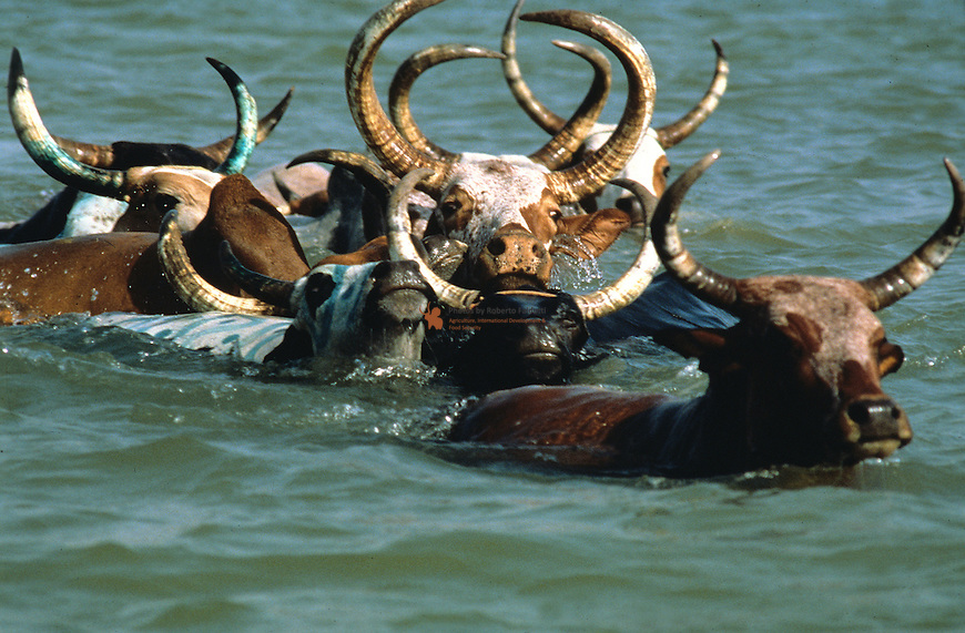 Peul (Fulani) herdsmen from Macina cross the Niger river with their cattle. This event, crossing the waters, recalls two myths: the ancestors of the Peul's journey from India, during which they crossed the Red Sea to reach Africa, and the origin of the cow, whcih, according to an African myth, sprang from the water..A very important ritual which, not by chance, coincides with Mali's national day (21.10).