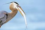 Great Blue Heron Eating Spanish Mackerel,  Sanibel, Florida, USA