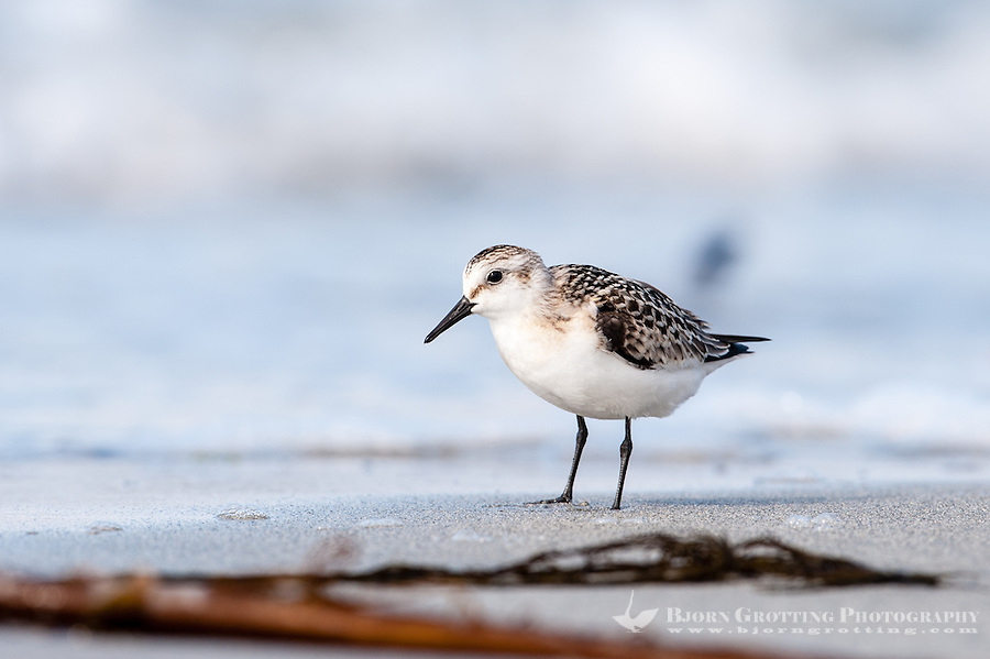 The Sanderling is a small wader, similar in size to a Dunlin. At Revtangen on Jaeren, south west Norway.