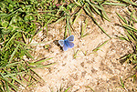 Male Common Blue butterfly, Polyommatus icarus, at Bawdsey, Suffolk, England, UK