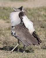 A male Kori bustard displays for females.