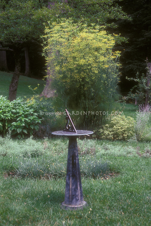 Dill herb in bloom in herb garden with sundial