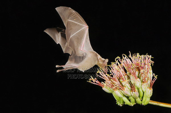 Lesser Long-nosed Bat, Leptonycteris curasoae, adult in flight at night feeding on Agave blossom (Agave spp.),Tucson, Arizona, USA, September 2006