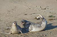 Northern Elephant Seals (Mirounga angustirostris) hauled out on beach.  Central California coast.
