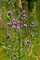 Acker-Kratzdistel, Ackerkratzdistel, Kratzdistel, Distel, Cirsium arvense, Creeping thistle, Canada thistle