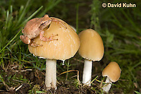 0807-0902  Spring Peeper Frog on Gold Mushrooms, Pseudacris crucifer (formerly: Hyla crucifer)  © David Kuhn/Dwight Kuhn Photography