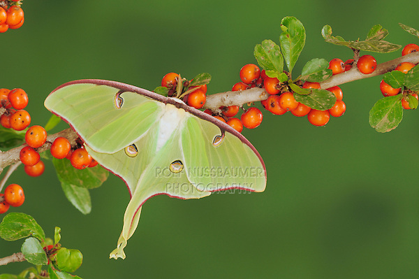 Luna Moth (Actias luna), adult on possumhaw (Ilex decidua), New Braunfels, Texas, USA