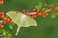 Luna Moth (Actias luna), adult on possumhaw (Ilex decidua), New Braunfels, Texas, USA