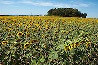 Sunflower field at Paizay Naudouin Embourie, Charente, South West France.