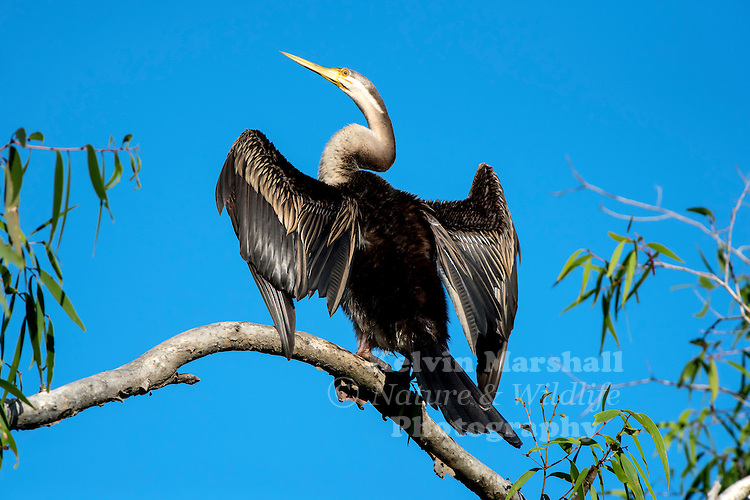 Australasian darter or Australian darter (Anhinga novaehollandiae) - drying its wings out after being in the water. Daintree River, Far - North Queensland. Australia.