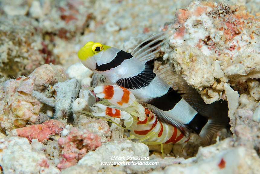 A perfect example of symbiosis, this Yellownose Shrimpgoby, Stonogobiops xanthorhinica, shares a burrow with a Randall's Shrimp, Alpheus randalli. Fiji, Pacific Ocean