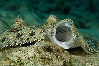 Peacock Flounder, Bothus lunatus, yawns for the camera, Bonaire, Netherlands Antilles, Atlantic Ocean
