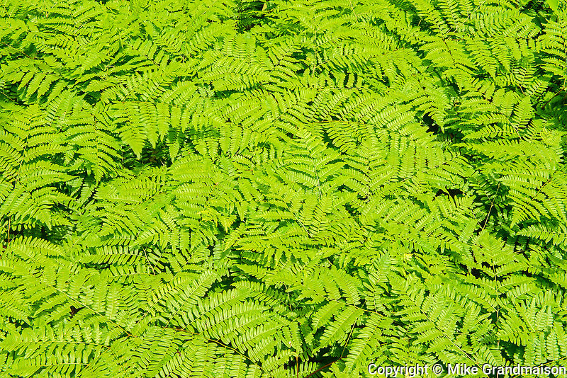 Pattern of Bracken ferns (Pteridium aquilinum )<br />