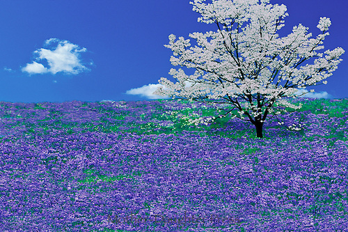 Idyllic meadow of Purple sweet william flowers with blooming white dogwood tree, Conus florida
