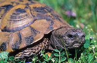 Griechische Landschildkröte, Schildkröte, Testudo hermanni, Hermann's tortoise, Greek tortoise
