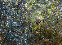 NWA Democrat-Gazette/ANTHONY REYES &bull; @NWATONYR<br /> A turtle sunbathes on a rock Monday, Aug. 31, 2015 in Spring Creek in Springdale.