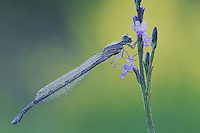 Familiar Bluet (Enallagma civile), male with dew, Rio Grande Valley, Texas, USA