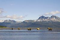 Kodiak grizzly bears (Ursus arctos middendorffi) at Hallo Bay