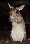 Chinchilla (captive) Chinchilla lanigera, sitting back on hind legs....