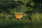 Young white-tailed buck in July