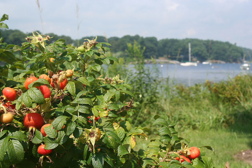 Red berries near the shore of Saco Bay in Maine