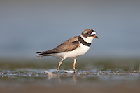 Semipalmated Plover (Charadrius semipalmatus), East Pond, Jamaica Bay Wildlife Refuge