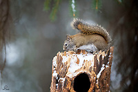 American Red Squirrel (Tamiasciurus hudsonicus) sitting still as it munches on a snack. These little high-energy balls of fur rarely achieved this state.