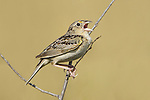 Grasshopper Sparrow (Ammodramus savannarum) singing on a branch, Ontario, Canada.