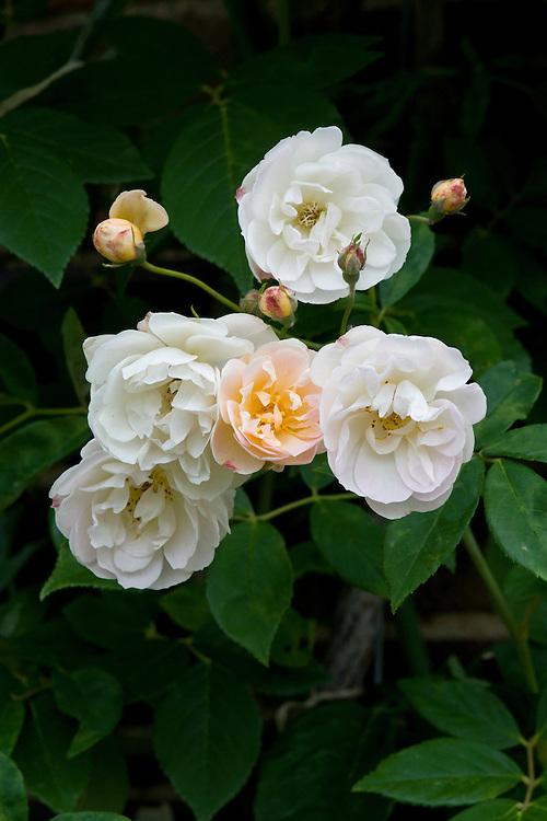 Rosa 'Treasure Trove', mid June.