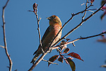 Crossbill in a tree
