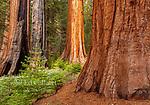Sequoias, Mariposa Grove, Yosemite National Park, California