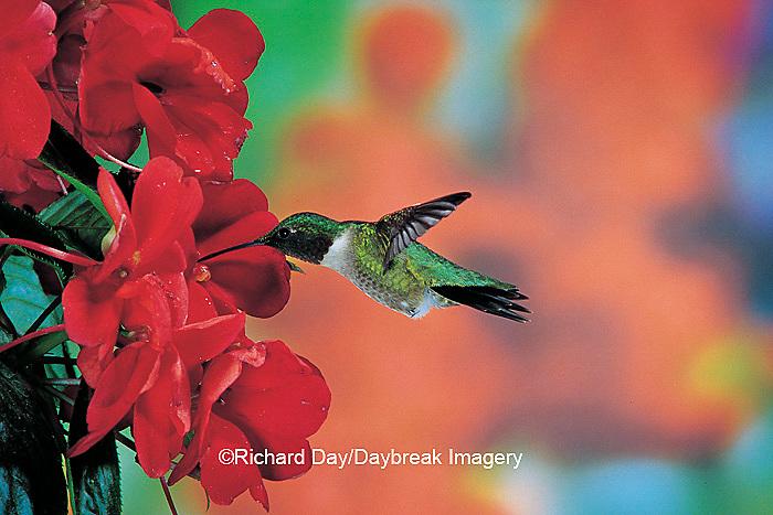 01162-056.10 Ruby-throated Hummingbird (Archilochus colubris) male on Impatiens (New Guinea Hybrid) Shelby Co.  IL